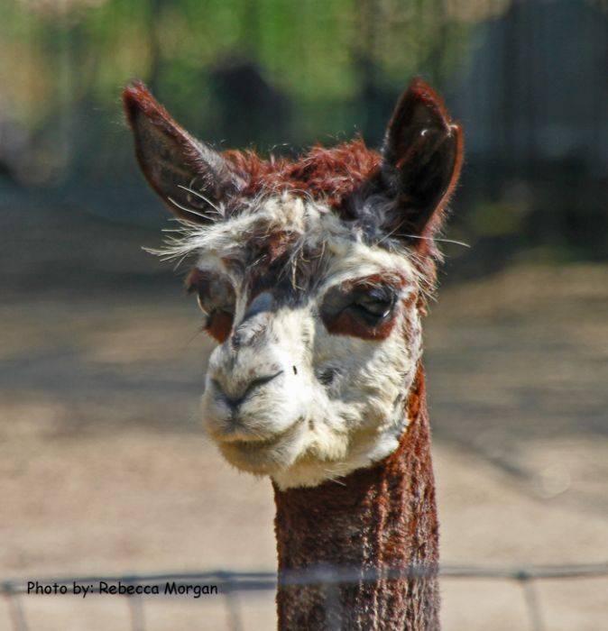 Old Irish BnB-Patrick's Pastures Alpaca, Denton, Texas, find things to see near me in Denton
